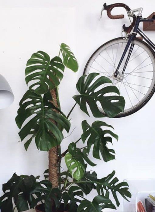 Pflanzen Monstera Houseplantclub Kommandorat Nordic Butik