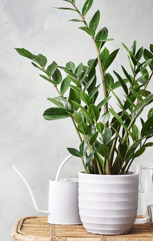 Zamioculcas Zimmerpflanzen Nordic Butik